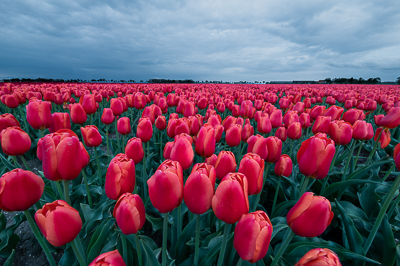 Holland: Tulpenreise